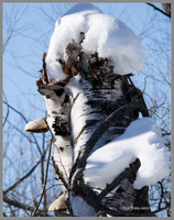 Broken Birch with Fungi Winter by Mogrianne