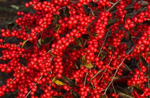 Winterberries by muffet1
