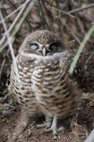 Burrowing Owl by finhead4ever