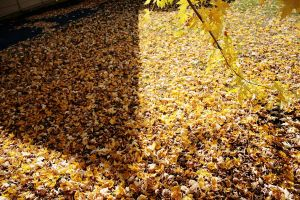 yellowautumn by FigoTheCat
