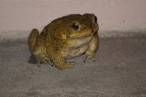 Frog by JacquiJax-Stock