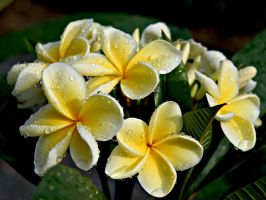 Raindrops on Frangipani by Firey-Sunset