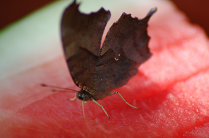 Butterfly on Watermelon by highlyimprobable
