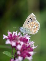 Adonis Blue by monkmonk12