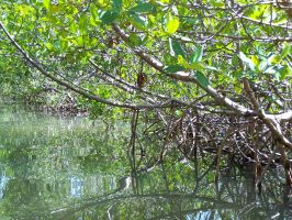 Mangrove Tunnels 2 by Polly-Stock