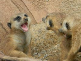 Meerkat-I said DON'T TOUCH 2 by RainbowCartilage