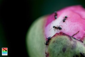 ants on the flower 1 by mominomi