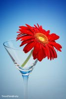 Gerbera by WindyLife