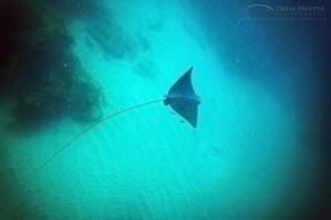 Spotted Eagle Ray by DrewHopper