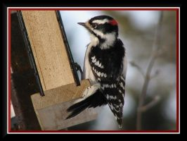 Downy Woodpecker by dove-51