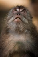 Macaca Face Looking Up by frankylie