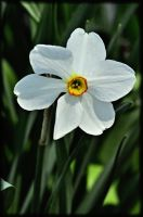 Narcissus poeticus by TThealer56