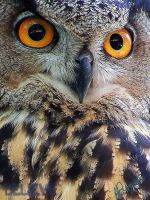 Eurasian Eagle Owl - V by BelievePhotography