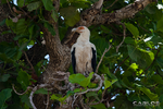 Palm-nut Vulture by Solrac1993