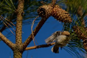 Brown Headed Nuthatch 1 by bovey-photo
