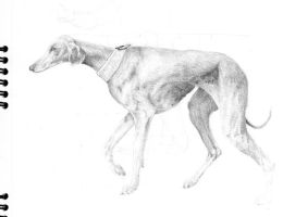 Study of Greyhound by hanestetico