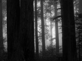 Redwoods 3 by volckening