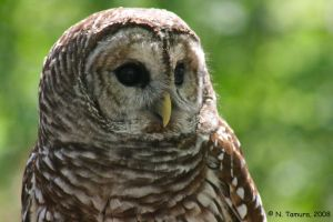 Barred Owl II by NTamura