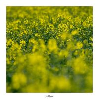 Day 231 - Rapeseed Flower by TakeMeToAnotherPlace