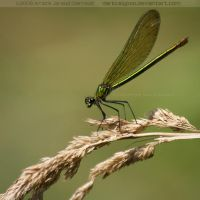 Damselfly II by darkcalypso