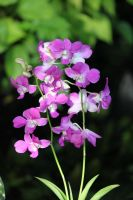 Purple Orchids 2 by CASPER1830