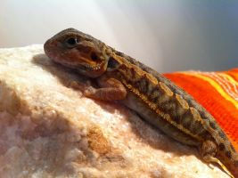 Baby bearded dragon with bearth defect by SGrafen