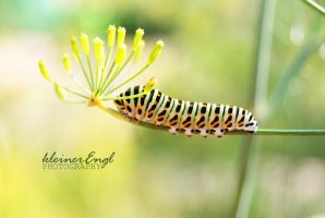 Papilio machaon by kleinerEngl