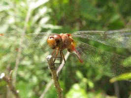 Dragonfly by beachtownkid