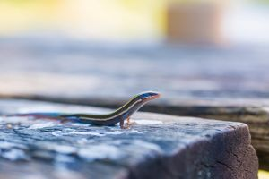 Cynical Lizard by delphotographer