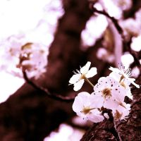 Callery Pear Blossoms III by AcceptedOutcast