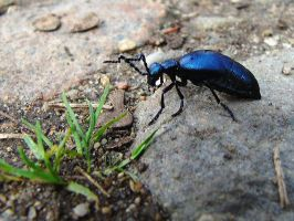 European oil beetle by Vejr