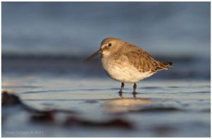 Evening Dunlin by Ryser915