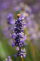 lavender part 2 by looziker