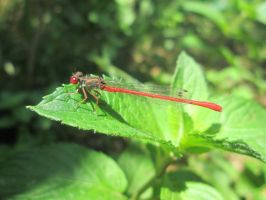 Red Dragonfly 1 by FuriarossaAndMimma