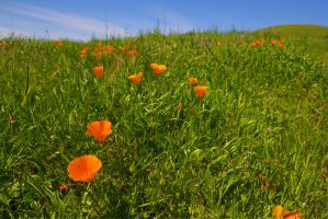 California Poppy by Doogle510