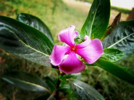 Pink Flower in India by AkuXi