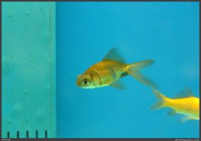 Fish Stock 0042 by phantompanther-stock