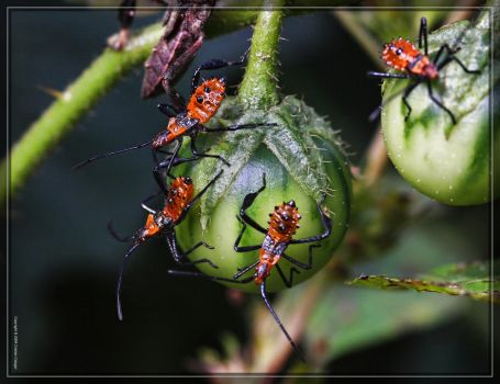 Leaf-footed Bugs 40D0026708 by Cristian-M