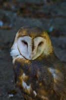 Barn Owl by Dustinpg