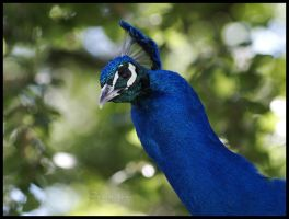 Indian blue peafowl by Sophie1990
