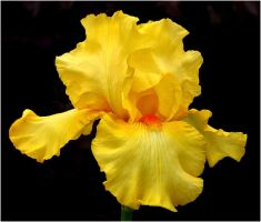 YELLOW IRIS 1 28 11 by THOM-B-FOTO