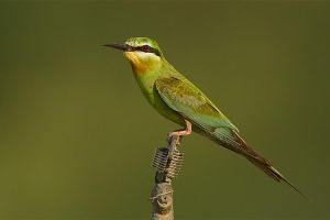 Blue-cheeked Bee-eater by Jamie-MacArthur