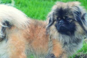 Pekingese Lion-Dog by FRichard-peint