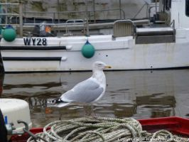 Seagull on Boat Whitby by illusiveexistence