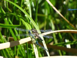 dragonfly 2 by brandrificus-stock