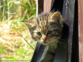 Timid European Wild Kitten by Mouselemur