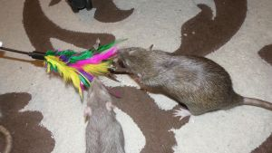 Rats and cat toy 2 by OP-Girl16