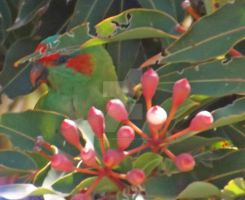 Musk Lorikeet by tablelander