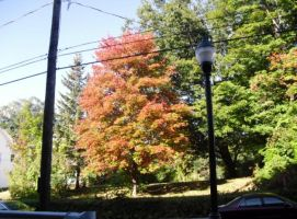 Maple Tree Sept 23 2014 005 by notmor