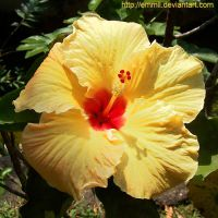 Yellow Hibiscus by emmil